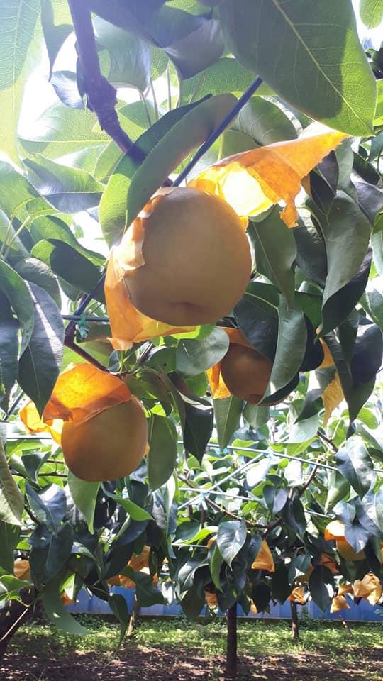 幻の梨と言われる「いなぎ」の季節
